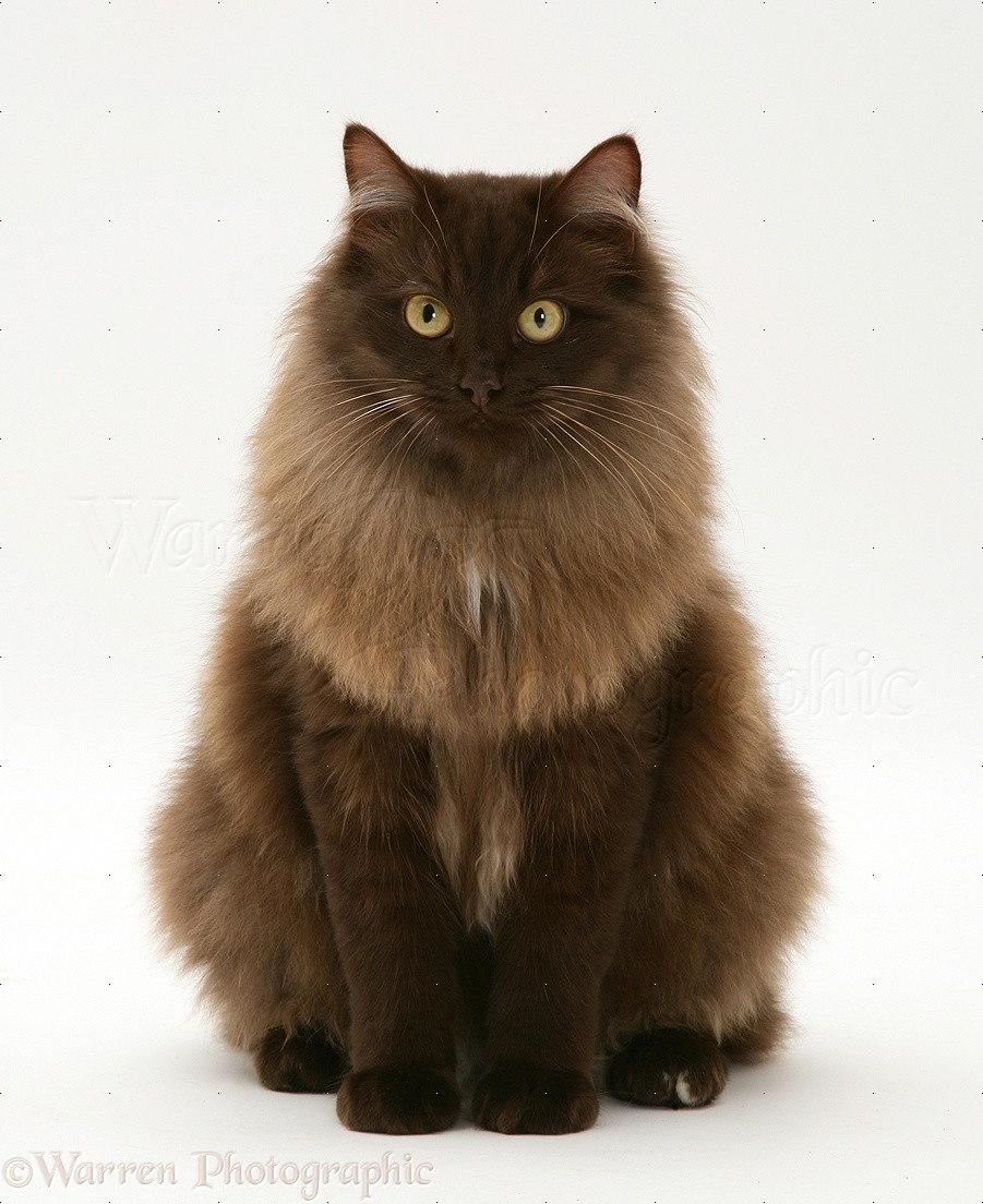 23759-Fluffy-dark-chocolate-Birman-cross-cat-sitting-white-background.jpg
