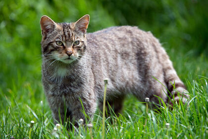 Cat-Cat Guide-A Scottish Wildcat hunting in the long grass
