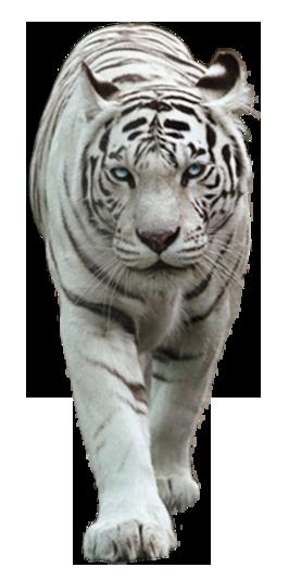 Image - White tiger by lovemayu-d7mabuc.png | Animal Jam ...