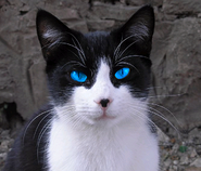 Furred-small-black-and-white-patched-she-cat-with-stunning-blue-eyes