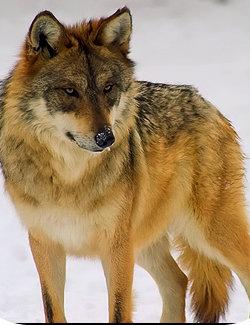 image so pretty wolf 1 1 zpsad1918b8 jpg animal jam clans wiki