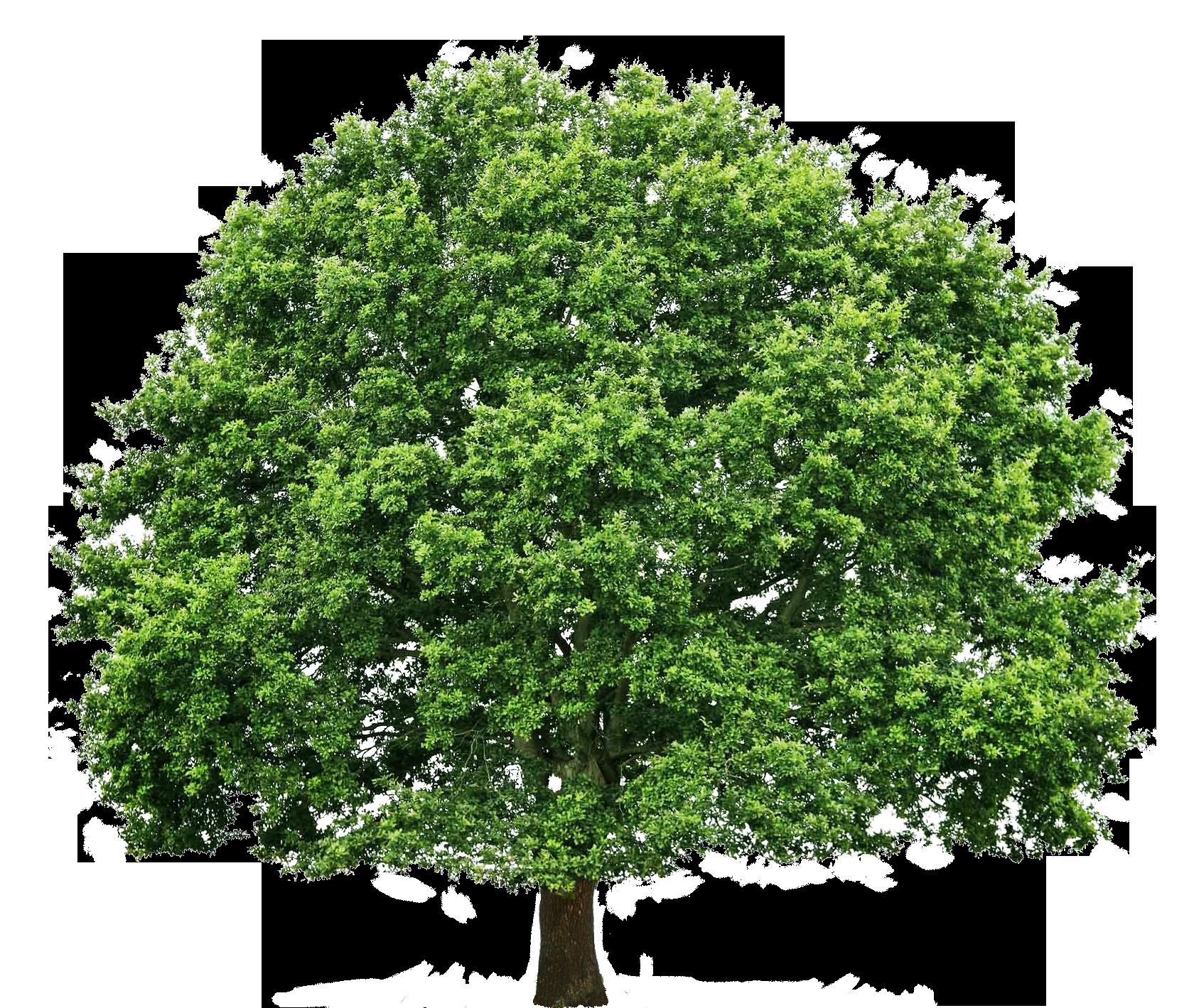 Oak Tree Big 20131230 1305535818