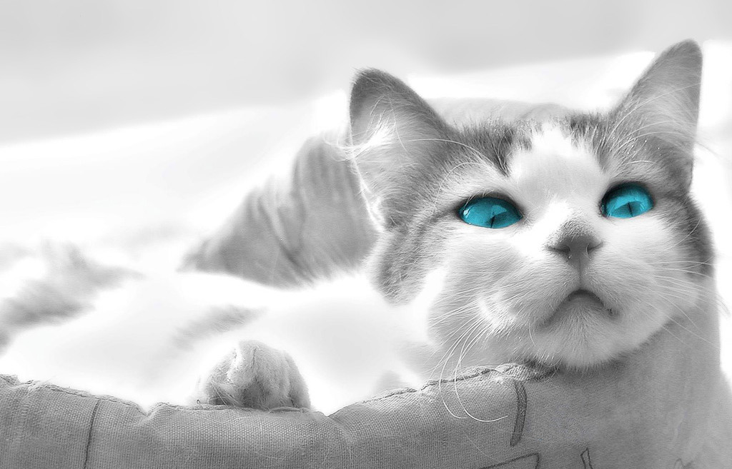 Black And White Cats With Green Eyes Hd Animal Picture Beautiful Cat Bright Blue Wallpaper Awesome