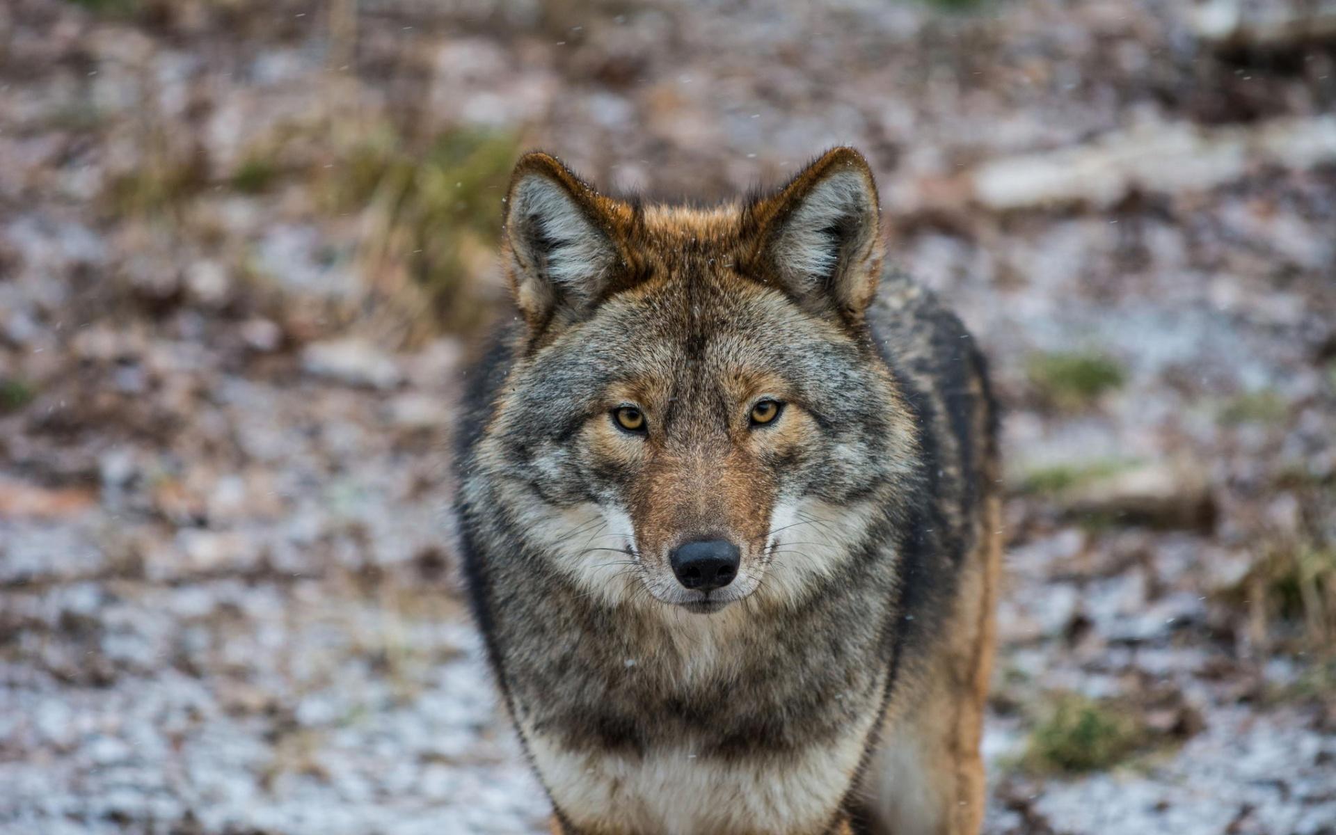 Image gray brown wolf desktop backgroundg animal jam clans gray brown wolf desktop backgroundg sciox Images