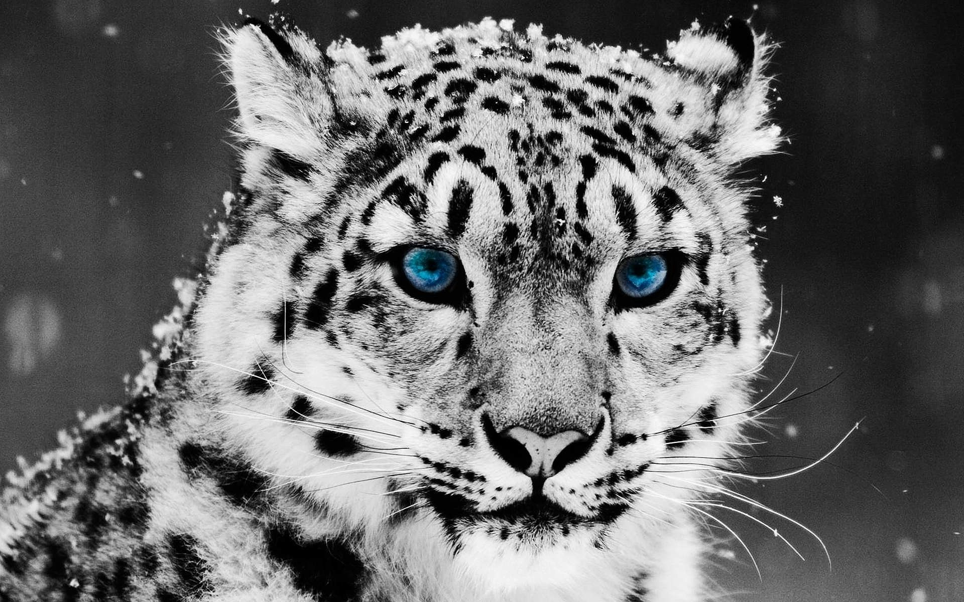 Baby Snow Leopard With Blue Eyes Wallpaper 2