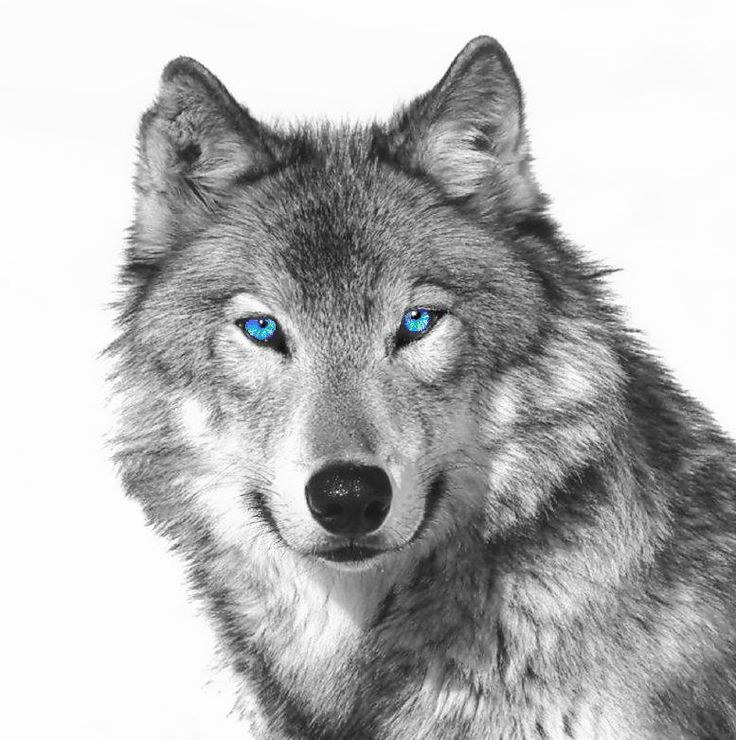 current issues on grey wolves Wolves are still protected by the wolf plan and oregon statute wolves west of hwys 395-78-95 remain protected by the federal esa the us fish and wildlife service is the lead management agency for wolves that occur west of hwys 395-78-95.
