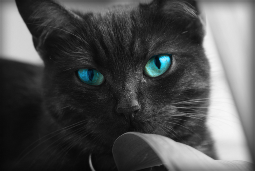 Image Black Cats Blue Eyes Animals Desktop 968x648 Hd Wallpaper