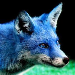 Blue_Fox_Furs_FA.jpg