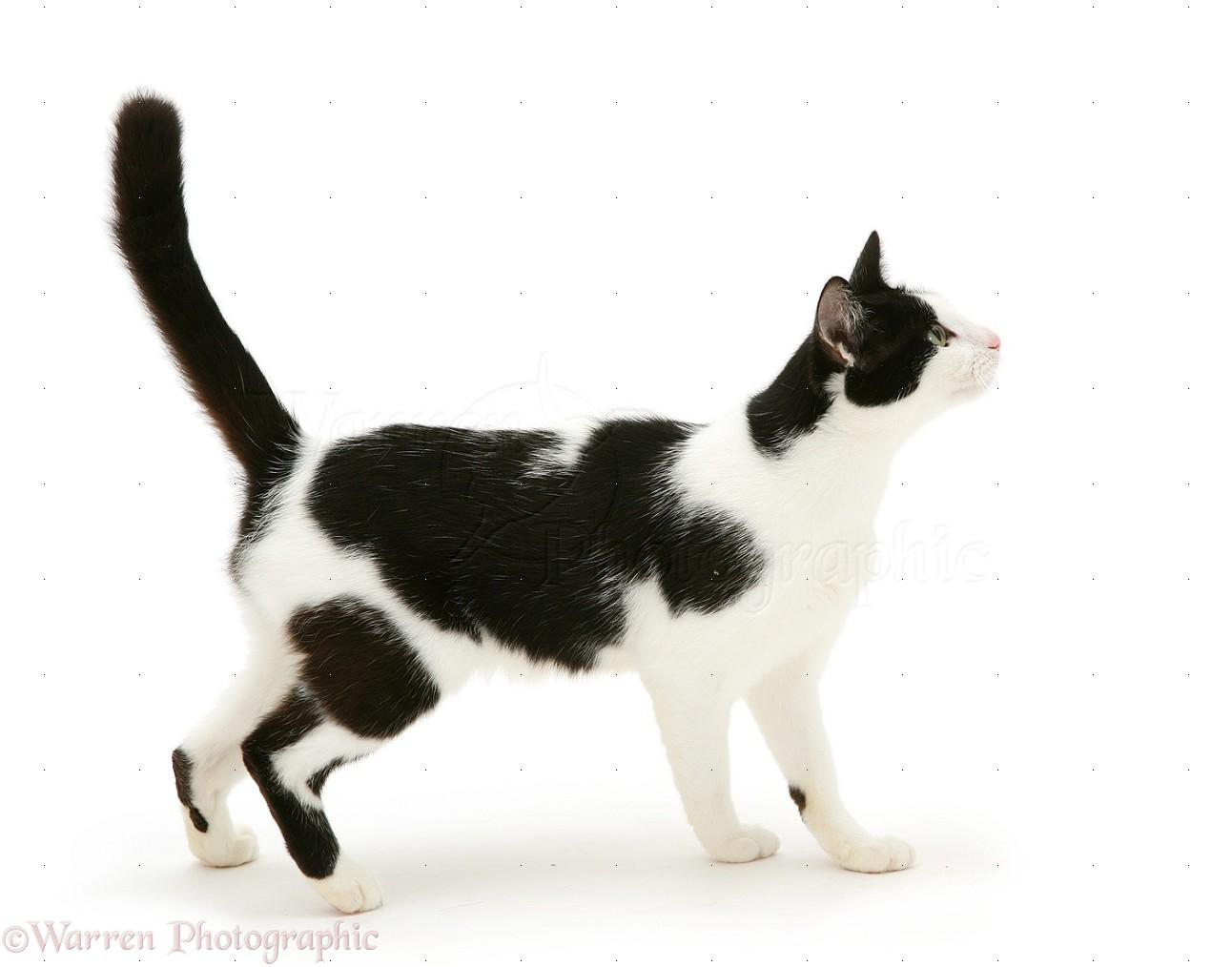 Black Cat Species Name