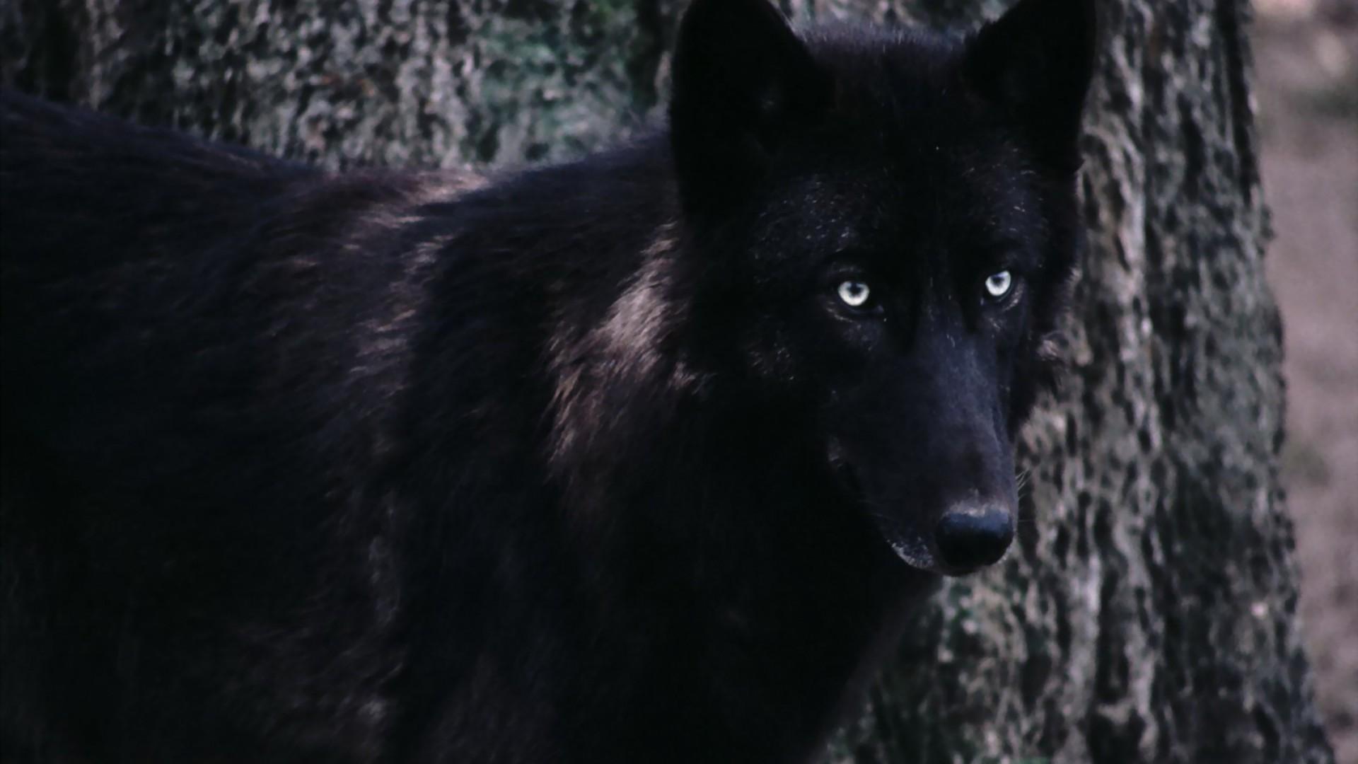 Image Xetfcn3 Black Wolf Wallpapers Jpg Animal Jam Clans Wiki