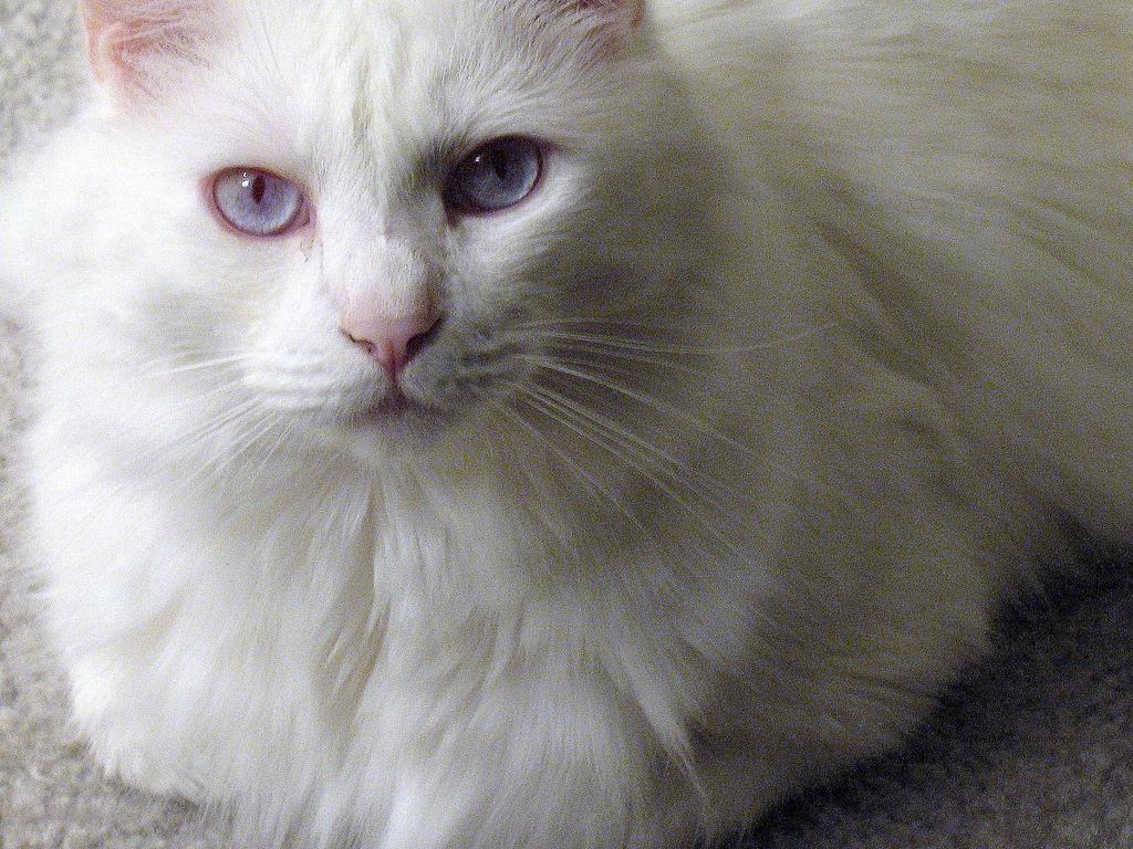 Image result for albino cat jpg