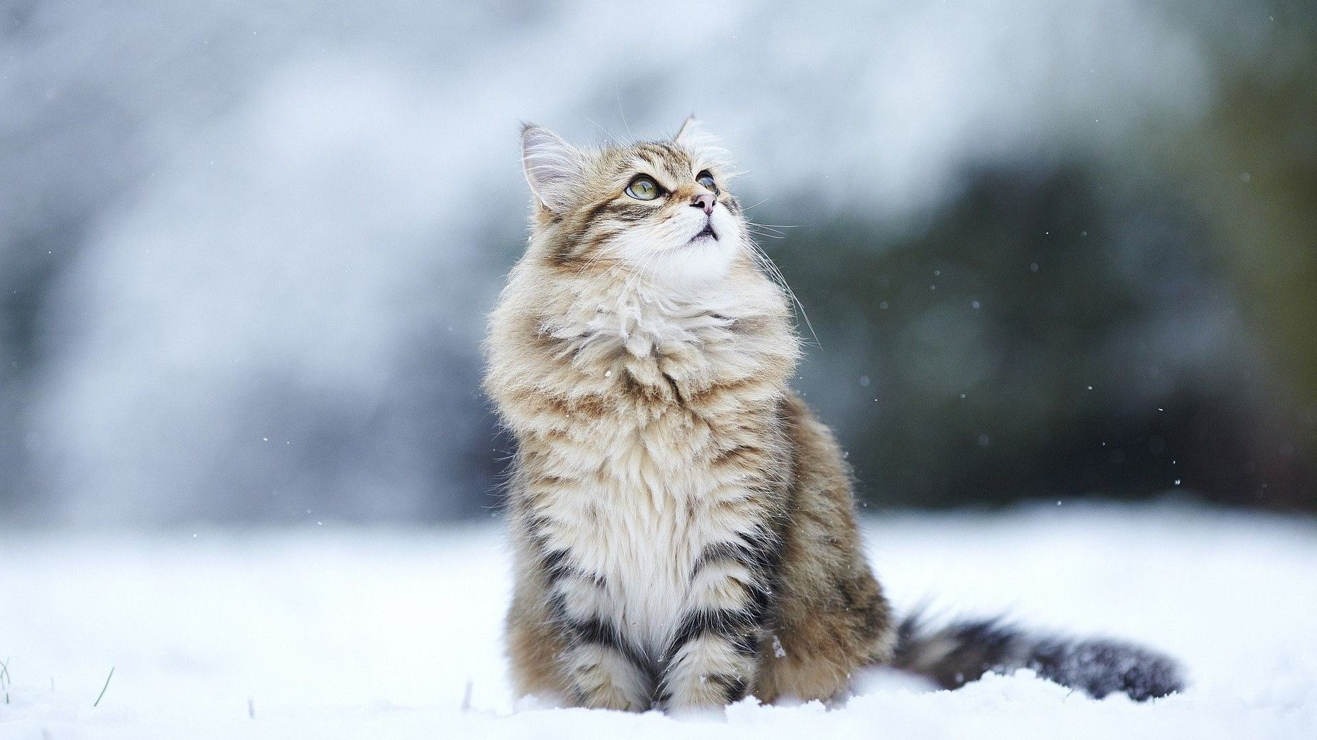 75 Hd Animals Ipad Backgrounds: Cat-winter-hd-wallpaper-taborat-winter-cats