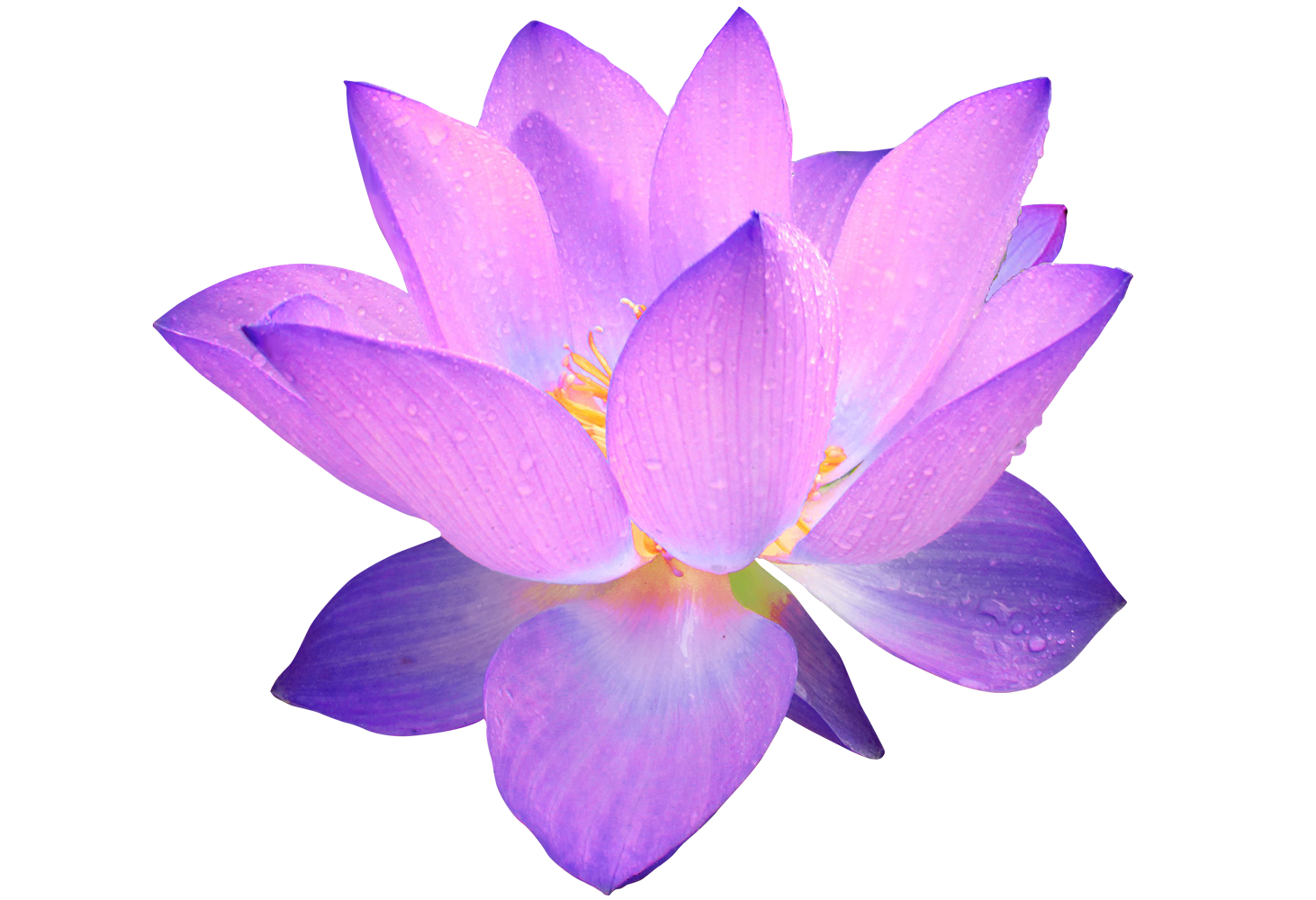 Image Purple Lotus Flowerg Animal Jam Clans Wiki Fandom