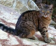 F18d671770dc32199ddeb0f5769f75c1--warrior-cats-cat-breeds