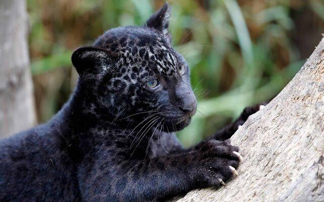 File:Black-Panther-HD-Wallpapers22.jpg