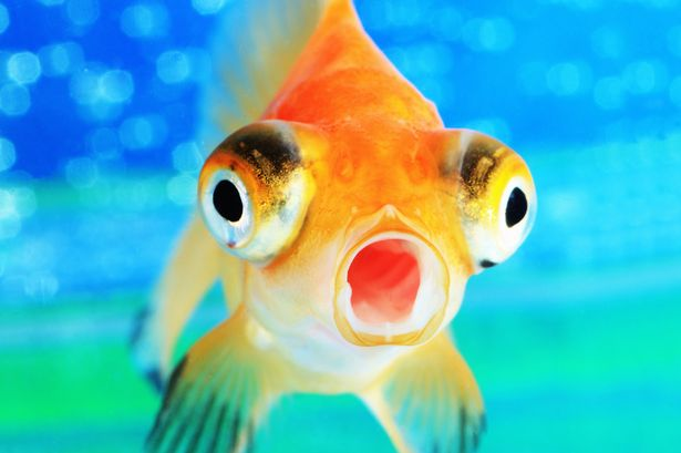 image prod goldfish jpg animal jam clans wiki fandom powered