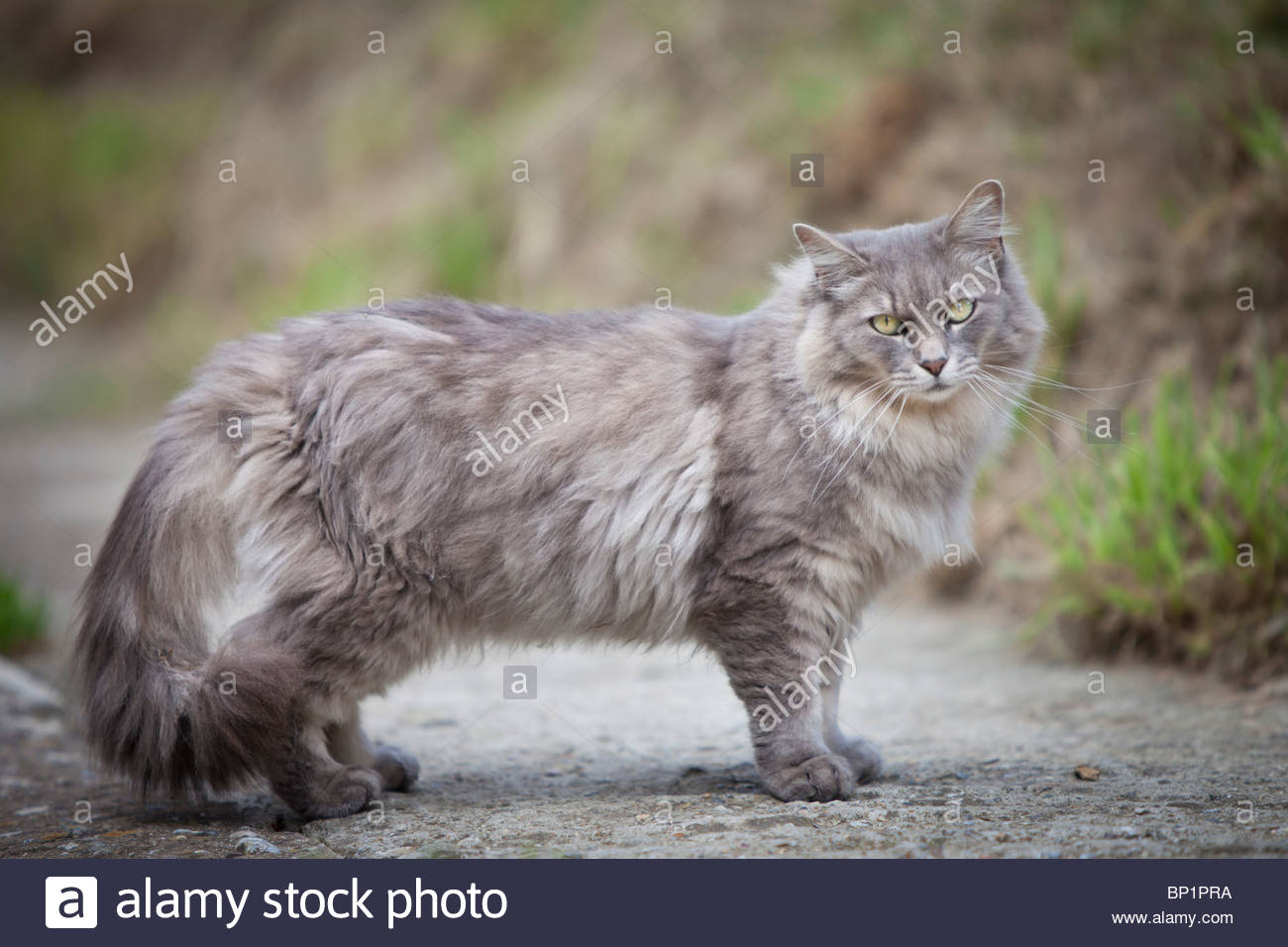 Image A long haired smoky grey cat with light green eyes stands