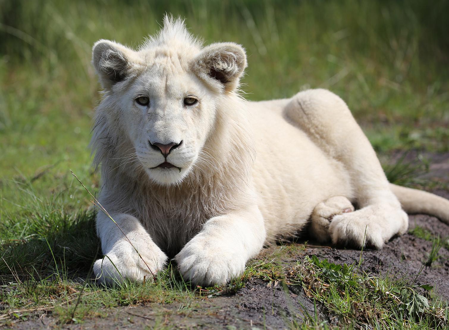 Image Lion 01eg Animal Jam Clans Wiki Fandom Powered By Wikia