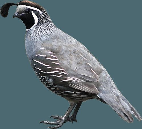 Image Quail Png Animal Jam Clans Wiki Fandom Powered