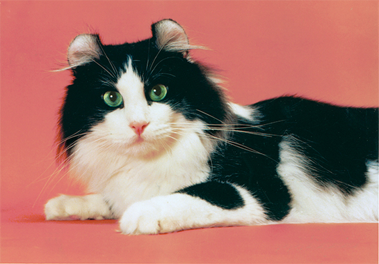 Image - Black-and-White-American-Curl-Cat.jpg | Animal Jam Clans ...