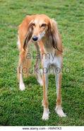 Saluki-dog-in-the-garden-hwntk5