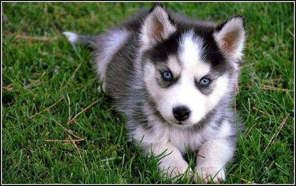 White Dog Blue Eyes Corgi Husky
