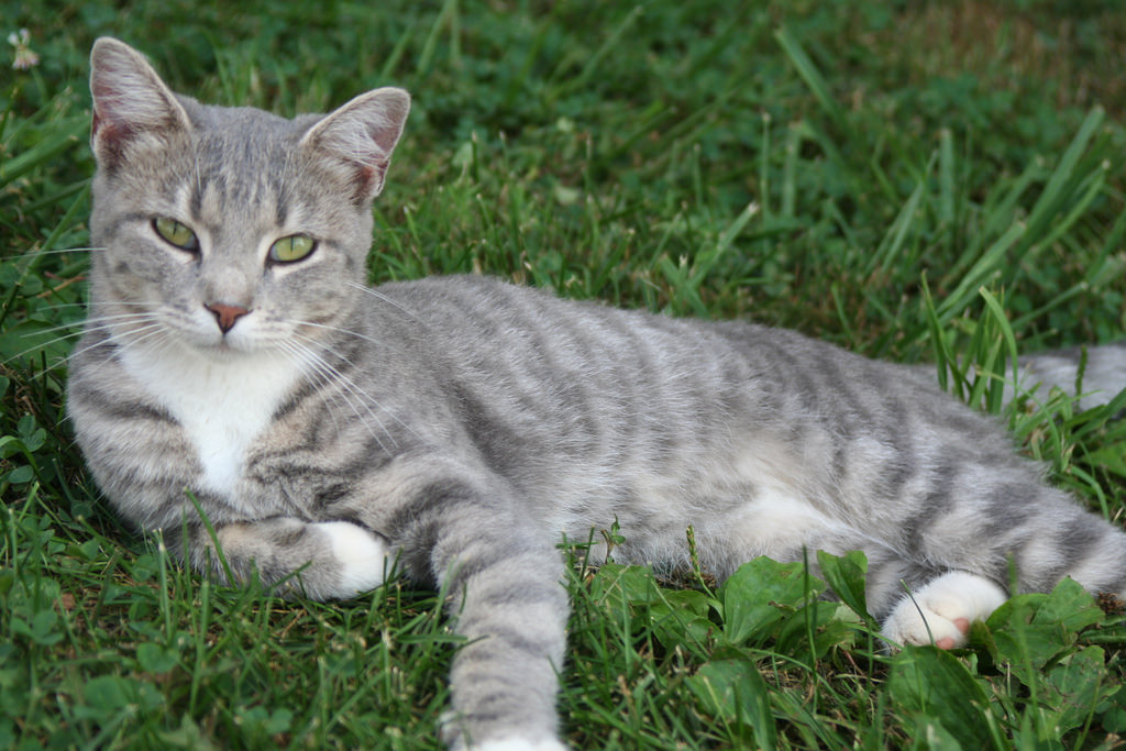 MALE CAT NAMES GREY STRIPES - Female Cat Names