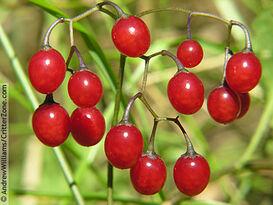 Red-berries-bittersweet-nightshade-climbing-Solanum-dulcamara-AWPL090105 07