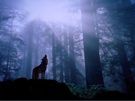 Dark-Forest-Wolf-2