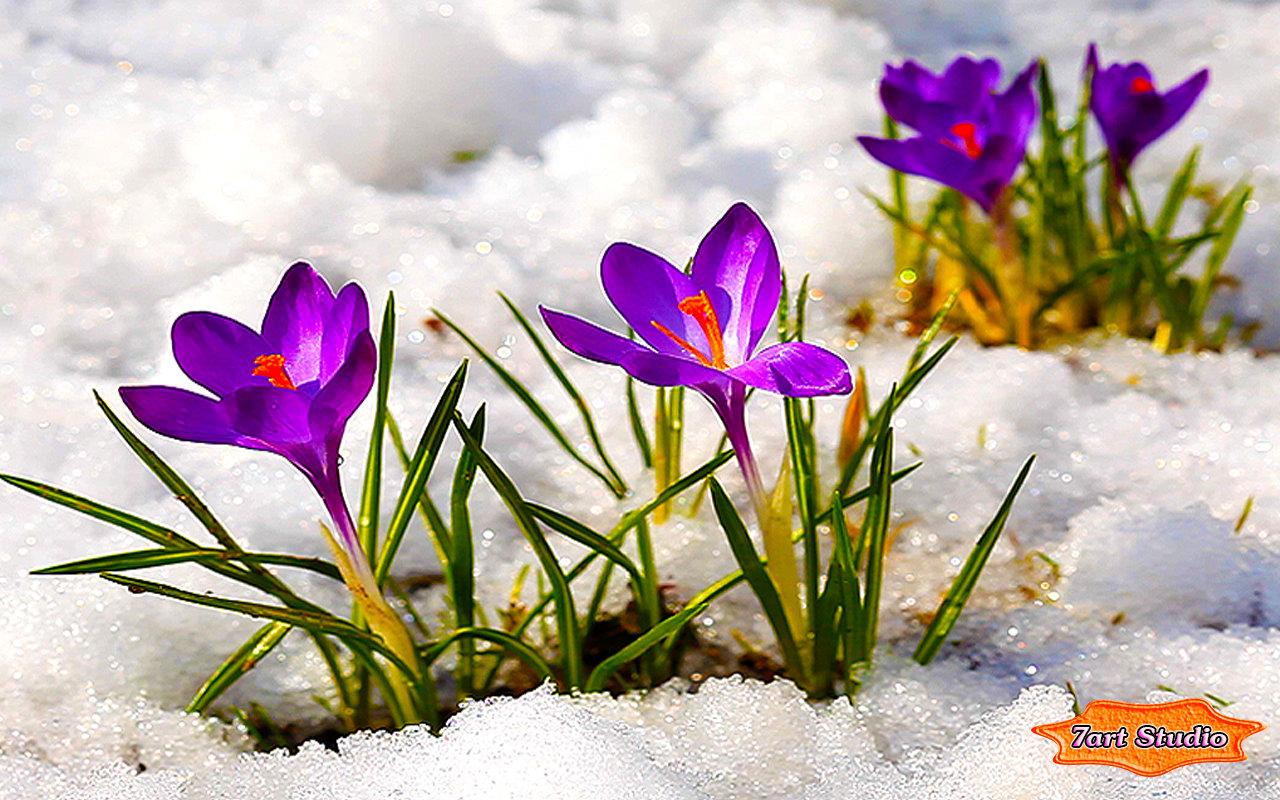 Image Bright Purple Crocus Flowersg Animal Jam Clans Stories