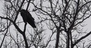 Raven-0