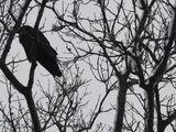 A Ravens Conspiracy