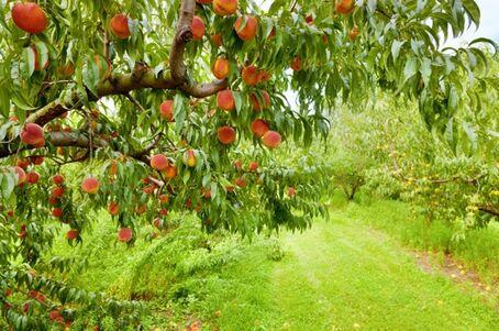 Peach orchard-2