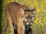Mountain Lion (Homeward Bound)