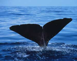 Photo of vertical tail at the ocean's surface