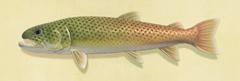 NH-Stringfish
