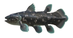 NH-Coelacanth