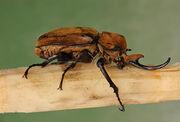 800px-Elephant Beetle Megasoma elephas Male Side 2699px