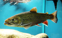 Real brook trout