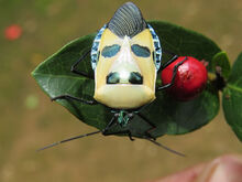 Man-faced stink bug