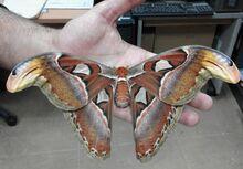 Atlas moth human hand