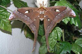 Oak silk moth hercules