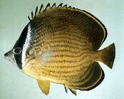 Chaetodon butterflyfish