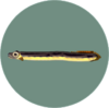 Eel (City Folk)