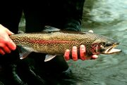 Rainbow trout-1-