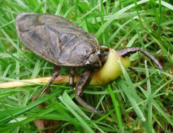 Giant Water Bug Animal Crossing Wiki Fandom