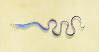 Ribbon the eel