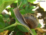 Snail eating leaf
