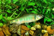 KoreanFreshwaterFish-Pale Chub J01-closeup