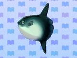 Ocean sunfish
